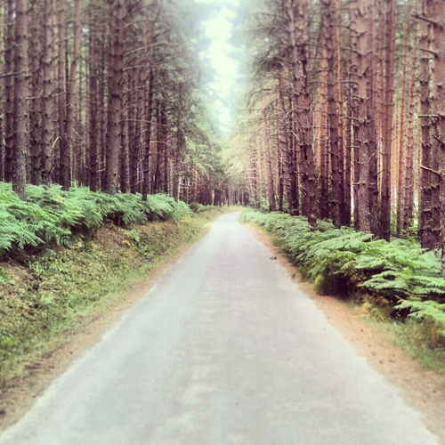 Carreterita secundaria atravesando un bosque de pinos