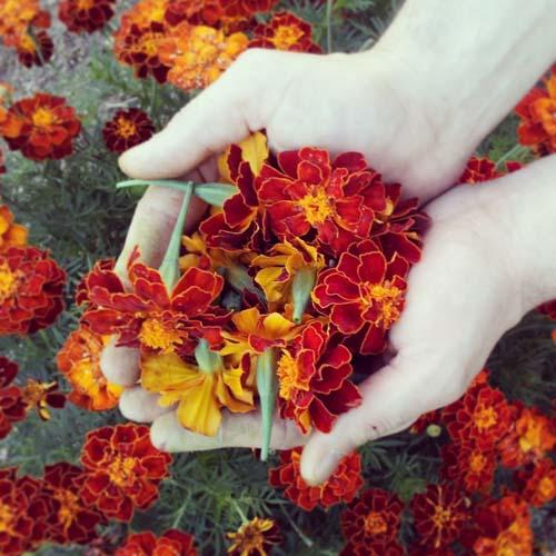 Flores de tagetes para teñir lana