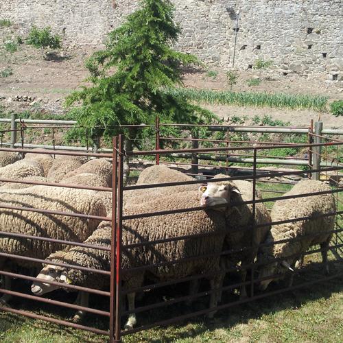 las ovejas en el redil en la Fiesta de la Trashumancia de Oncala