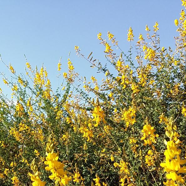 Flores tintóreas_El Jardín Tintóreo de Mundo Lanar