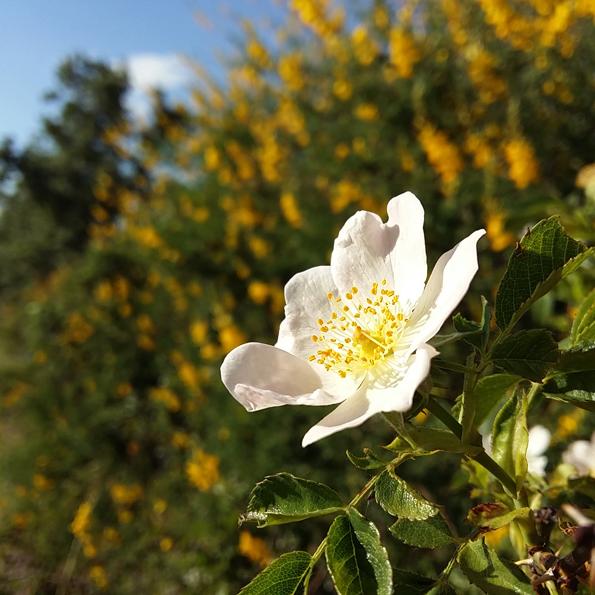 Flores_El Jardín Tintóreo de Mundo Lanar