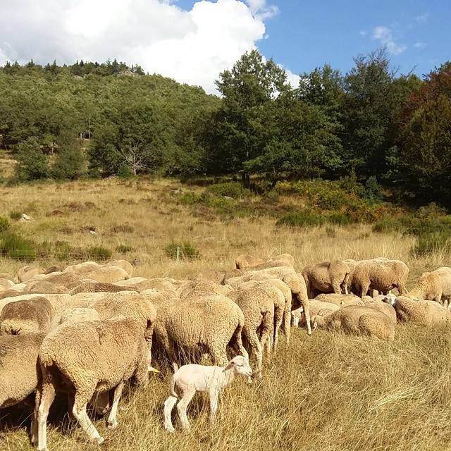 rebano-de-ovejas-en-la-fiesta-de-la-trasmumancia_venta-de-piqueras