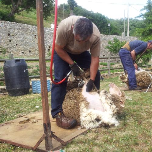 esquiladores en la Fiesta de la Trashumancia de Oncala