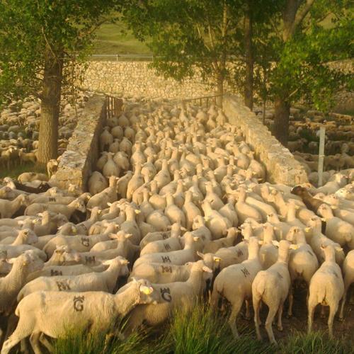 El puente de las ovejas